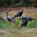 Wild Turkeys 9-23-10