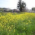 菜の花20100402