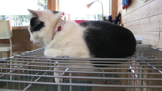 ケージの上の猫1