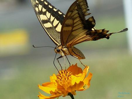 見上げるアゲハチョウ