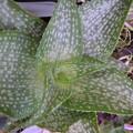 写真: Aloe deltoiodonta cv. SPARKLER