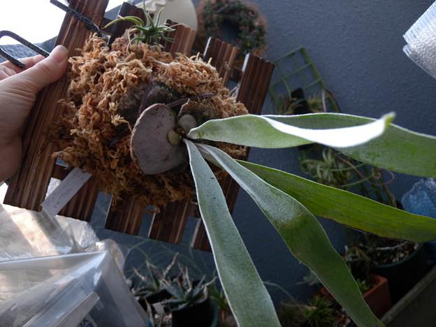 Photos: Platycerium veitchii