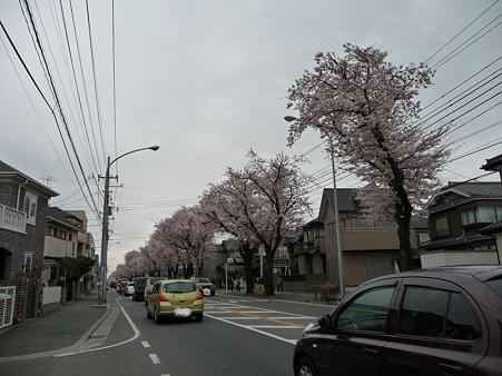 100404-海軍道路の桜