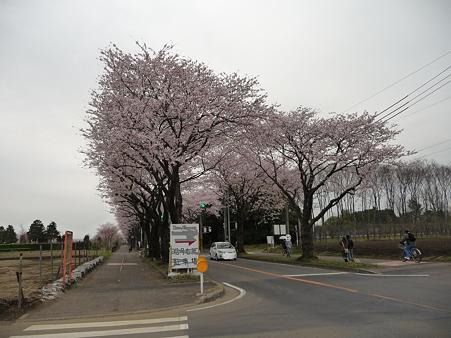 100404-海軍道路の桜 (11)