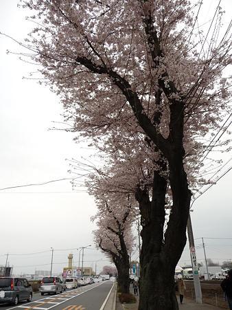 100404-海軍道路の桜 (7)
