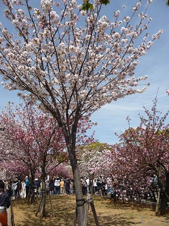 110417-造幣局 桜の通り抜け (17)