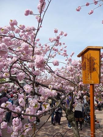 110417-造幣局 桜の通り抜け (108)