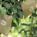 Photos: 有袋リンゴ01-12.07.10