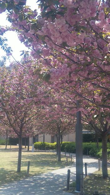 八重桜満開
