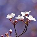 Photos: 森の奥の桜。