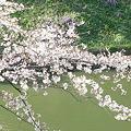 Photos: 100408 日本武道館の桜2