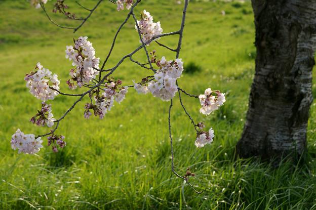 春風の桜花