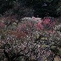 小石川の梅林