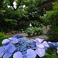 Photos: 紫陽花ウォッチング♪