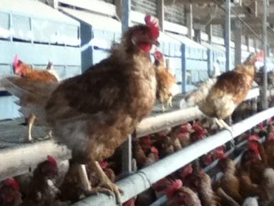 信州伊那谷のたまごやの有精卵の親鶏