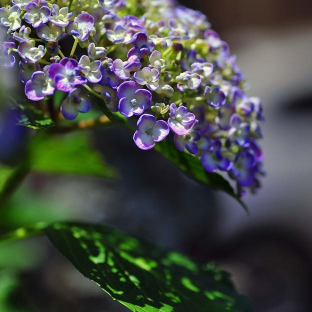 ウズアジサイ (渦紫陽花)