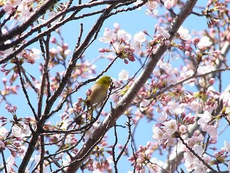 桜&メジロ