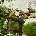写真: クレマチスの花