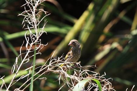 2012.07.10 和泉川 ナノハナにカワラヒワ 幼鳥