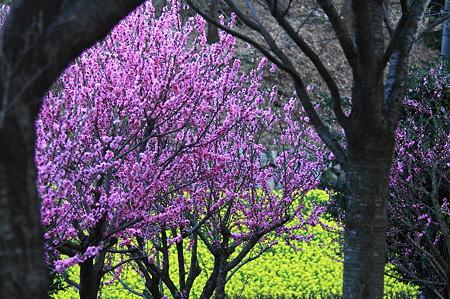 2010.03.22 追分市民の森 桃 菜の花