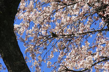 2010.03.30 小田原 長興山 枝垂桜とメジロ