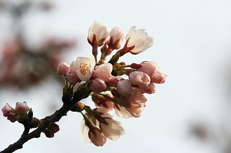2010.03.31 和泉川 さくら 蕾