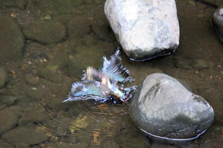 2010.08.24 和泉川 カワセミ 狩
