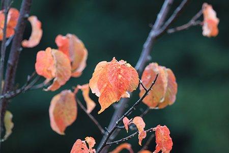 2010.11.05 和泉川 さくら-1