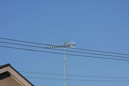 2010.12.31 和泉川 ワカケホンセイインコ
