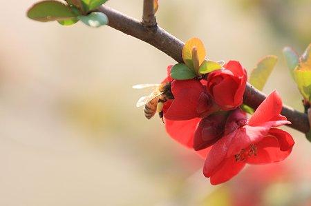 2011.03.30 和泉川 ボケにミツバチ