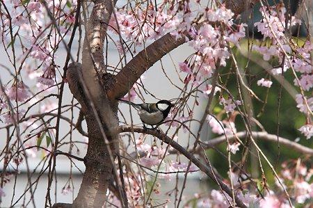 2011.04.19 和泉川 シジュウカラ