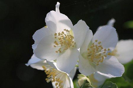 2011.05.15 和泉川 バイカウツギ