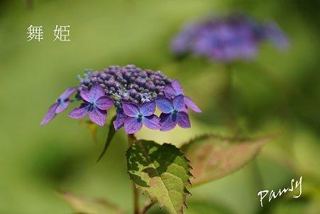 舞姫・・光則寺の山アジサイ 12