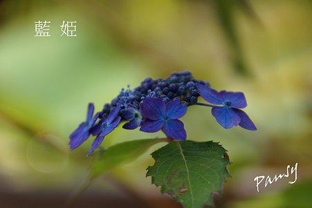 藍姫・・光則寺の山アジサイ 44