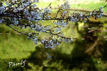 百虎池に咲く桜・・