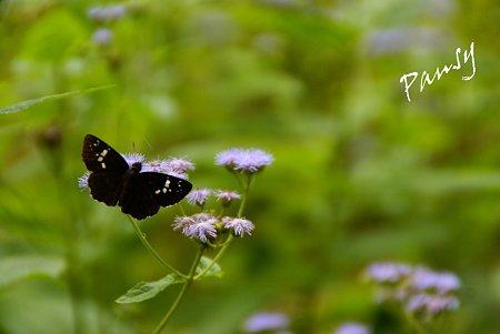藤袴(フジバカマ)と蝶・・