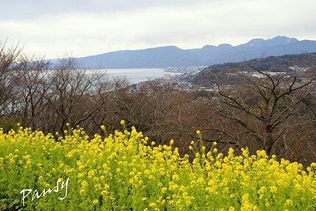 菜の花咲く・・吾妻山公園 1