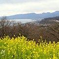 写真: 菜の花咲く・・吾妻山公園 1