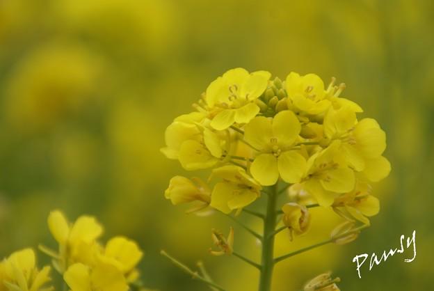 写真: 菜の花イエロ~♪