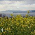 写真: 菜の花咲く・・吾妻山公園 3