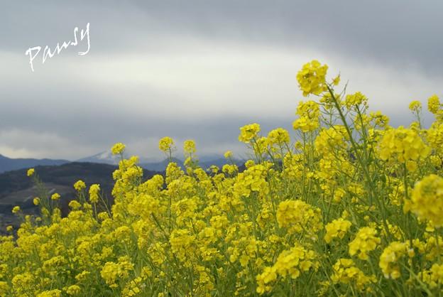 写真: 菜の花咲く・・吾妻山公園 4