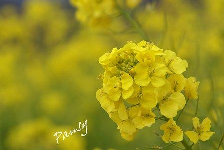 菜の花咲く・・吾妻山公園 5