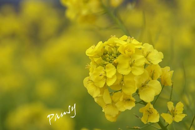 写真: 菜の花咲く・・吾妻山公園 5