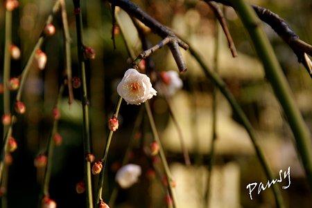 咲き始めの風待草(かぜまちぐさ)・・