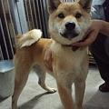 Photos: 柴犬です