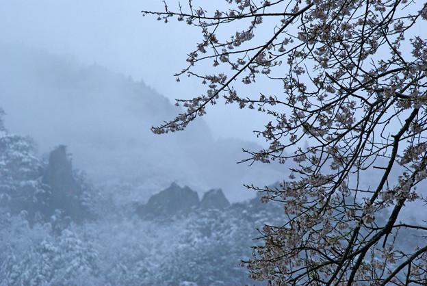 写真: 桜と雪の屏風岩