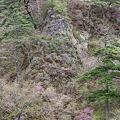 写真: 三ツ葉つつじと岩と松