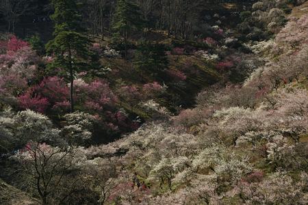 梅の公園が見頃!(100314)