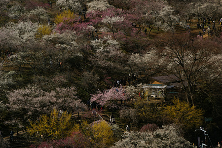黄色も有、梅の公園!(100314)