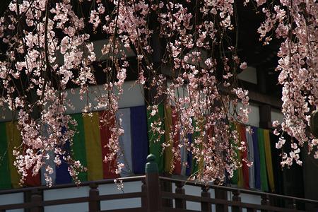しだれ桜、増上寺!(100326)